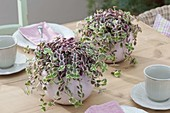 Crassula marginalis (thick-leafed plant) as table decoration