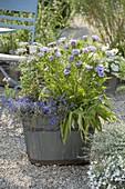 Stokesia laevis 'Mels Blue' (Cornflower Master)