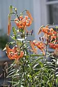 Lilium lancifolium var. Splendens (Tiger Lily)