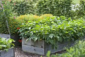 Bush beans (Phaseolus) in the self-built raised bed of boards