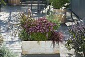 Wooden box with Coreopsis 'Limerock Passion' (tickseed)