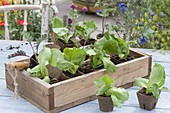 Preferred vegetable young plants in peat pots