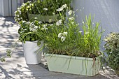 Chinese chives, garlic, chives (Allium tuberosum)