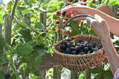 Woman picking blackberries (Rubus fruticosus) in the organic garden at the fence