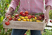 Woman bringing tray of freshly picked tomatoes