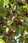 Cornus mas 'Jolico' (Cornus), ripe, dark red fruit