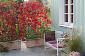 Parthenocissus quinquefolia in bright red autumn color