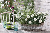weiße Rosa (Rosen) und Calamintha nepeta 'Triumphator' (Steinquendel