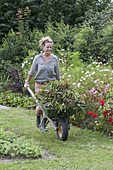 Woman drives wheelbarrow with perennials and flowers prunings