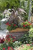 Wooden box on garden wall, Pennisetum setaceum 'Rubrum'