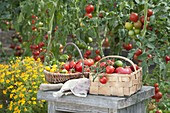 Baskets of freshly picked tomatoes on wooden stool