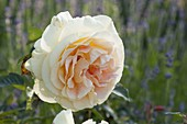 Rose 'Candlelight' with a strong scent, often blooming from Tantau