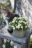 Primula belarina 'Cream' with a delicate fragrance, cat Minka
