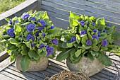 Primula Belarina 'Amethyst Ice' in rustic pots