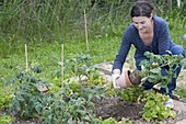 Planting tomatoes in the vegetable patch