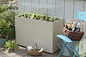 Plastic box with hood as a cold frame on the terrace