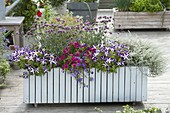 Rider wooden box with balcony plants-Petunia 'Crazytunia Starlight Blue'