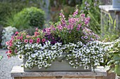 Wooden box with Scaevola Scalora 'Crystal', Angelonia