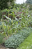 Sweetcorn in row, bed of sage