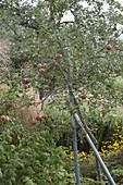 Apple tree variety 'Topaz'