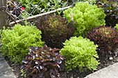 Colorful salads in flower bed