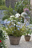 Blue and white plumbago (leadwort) planted together in basket
