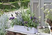 Blue-violet planted plastic box-Prunella grandiflora 'Blue'
