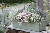 Wooden box planted in pastel-Diascia Breeze 'Pastel'
