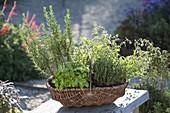 Basket with herbs for the Italian cuisine rosemary