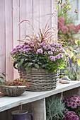 Autumn Planted Basket Chrysanthemum 'Tonka'