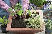 Planting a terracotta shell with shrubs