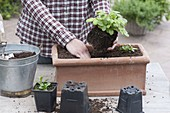 Plant terracotta boxes with perennials