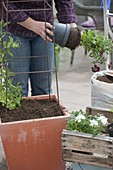 Woman planting tub with sweetpea and balcony flowers
