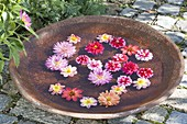 Dahlia flowers floating in ceramic bowl with water