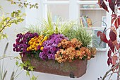 Balcony box with Chrysanthemum indicum, Carex