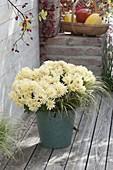 Chrysanthemum 'Jahou Peach' (autumn chrysanthemum)
