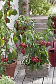 Paprika 'Zsuszanna' and hot peppers (Capsicum annuum)