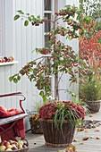 Malus 'Evereste' planted with Chrysanthemum 'Kiroul'