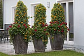 Tall tubs with Thunberia alata and Pelargonium
