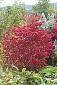 Euonymus alatus in autumn coloration in the bed