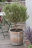 Rosemary (Rosmarinus) with twisted trunk in wooden tub