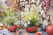 Hollowed pumpkins, as planters: Carex