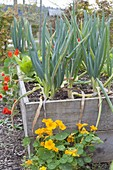 Spring onions, winter onions (Allium fistulosum) in raised bed