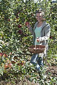 Woman at the apple harvest