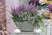Gray bowl with Erica gracilis (pottery), sage 'Tricolor'