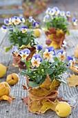Viola cornuta penny 'Peach Jump Up' with autumn leaves