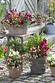 Antirrhinum (snapdragon) and mint (Mentha) in wooden tubs