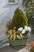 Green wooden vase planted in the autumn-Thuja orientalis 'Aurea Nana'