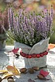 Calluna Garden Girls 'Hilda' purple (Bud blooming broom heath)
