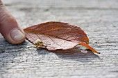 Tiny cottage snail on autumn leaf, finger to size comparison